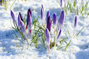 spring-flower-and-snow